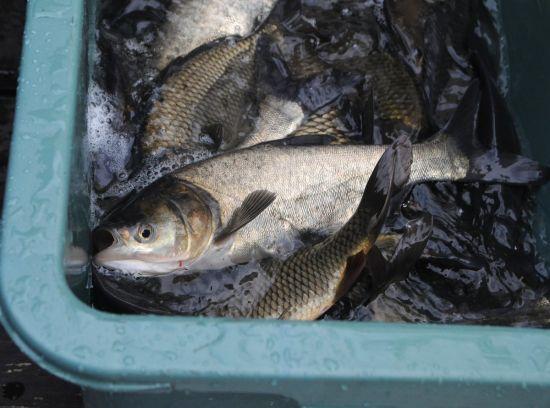 Поліцейський налагодив збут українцям небезпечної риби з Чорнобильської зони у промислових масштабах
