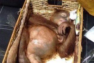 В Бали поймали россиянина, который пытался в корзине вывезти из страны орангутана
