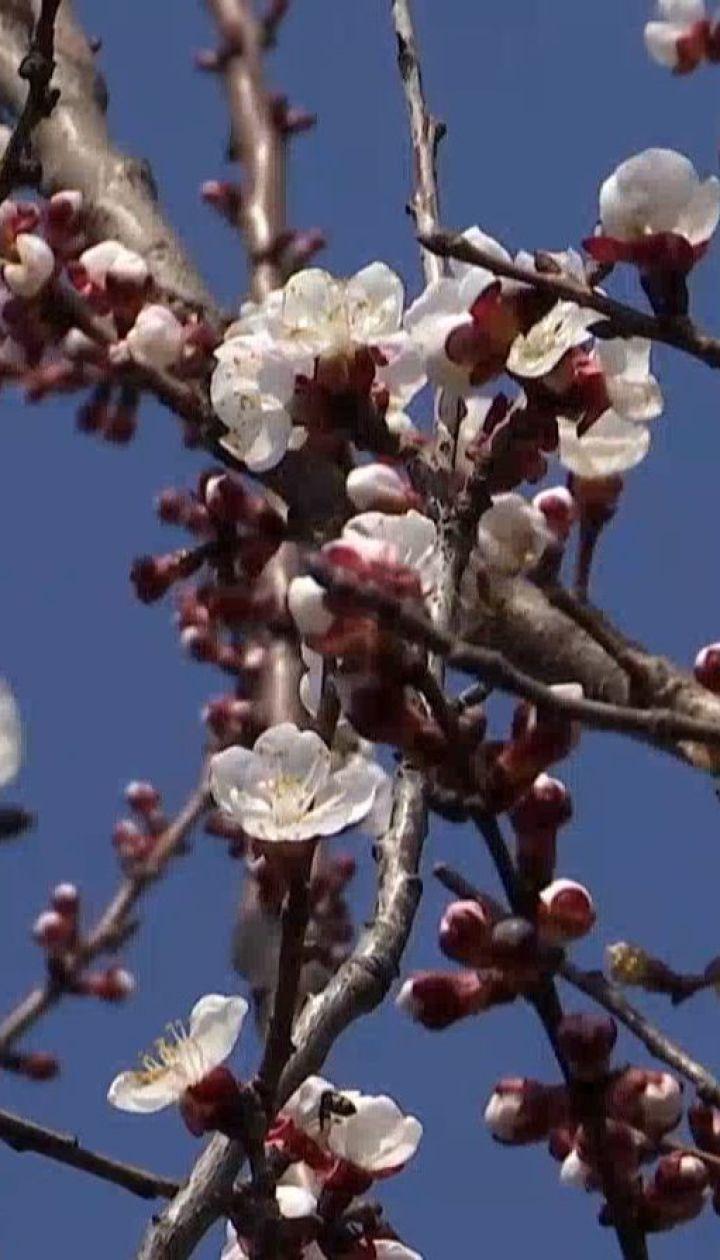 Аномально рано зацвіли абрикоси на півдні Одещини
