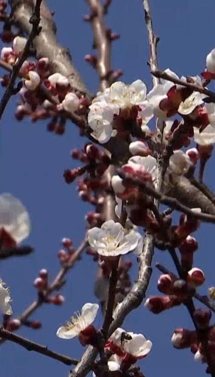 Аномально рано зацвели абрикосы на юге Одесской области