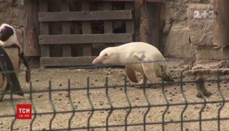 Єдиного у світі пінгвіна-альбіноса показали в зоопарку польського Гданська