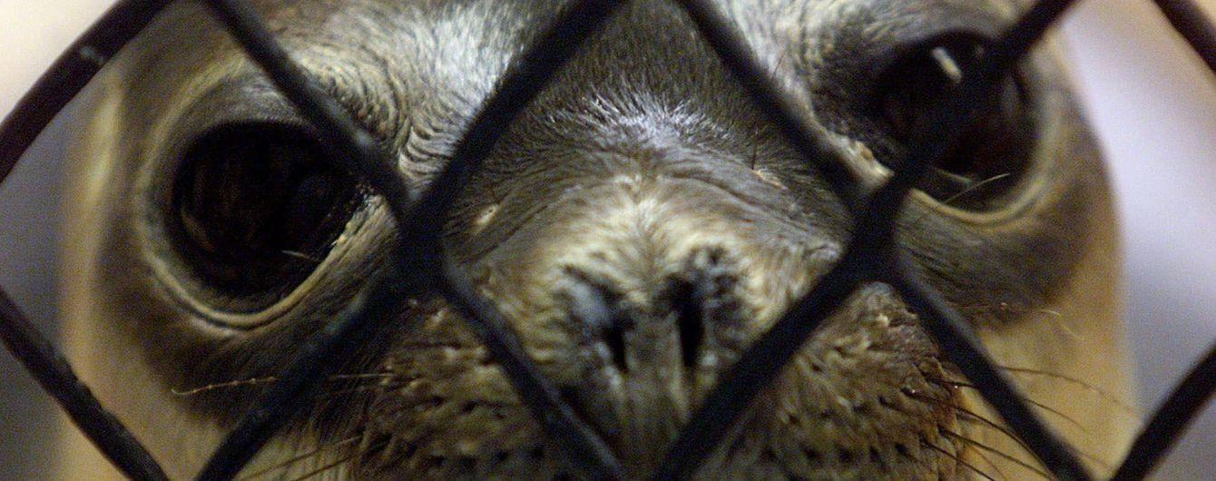 Агрессивный тюлень внезапно прокусил женщине ногу