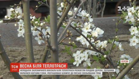 В Херсоне возле теплотрассы расцвели плодовые деревья