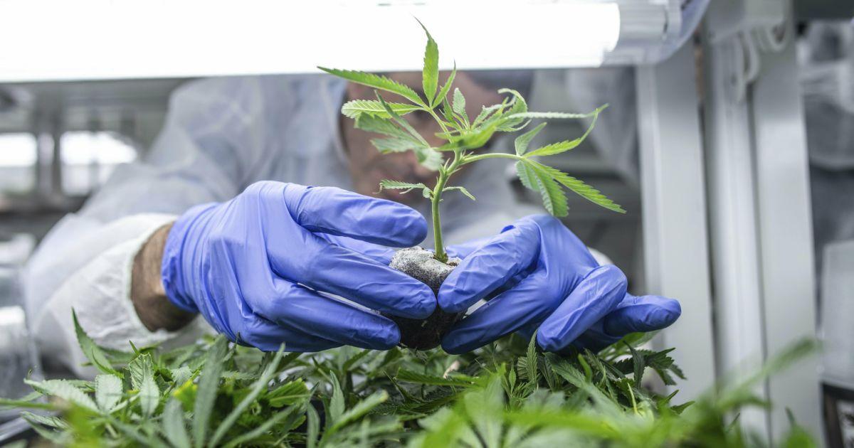 Конопляные перспективы: легализуют ли марихуану в Украине и как это работает за рубежом