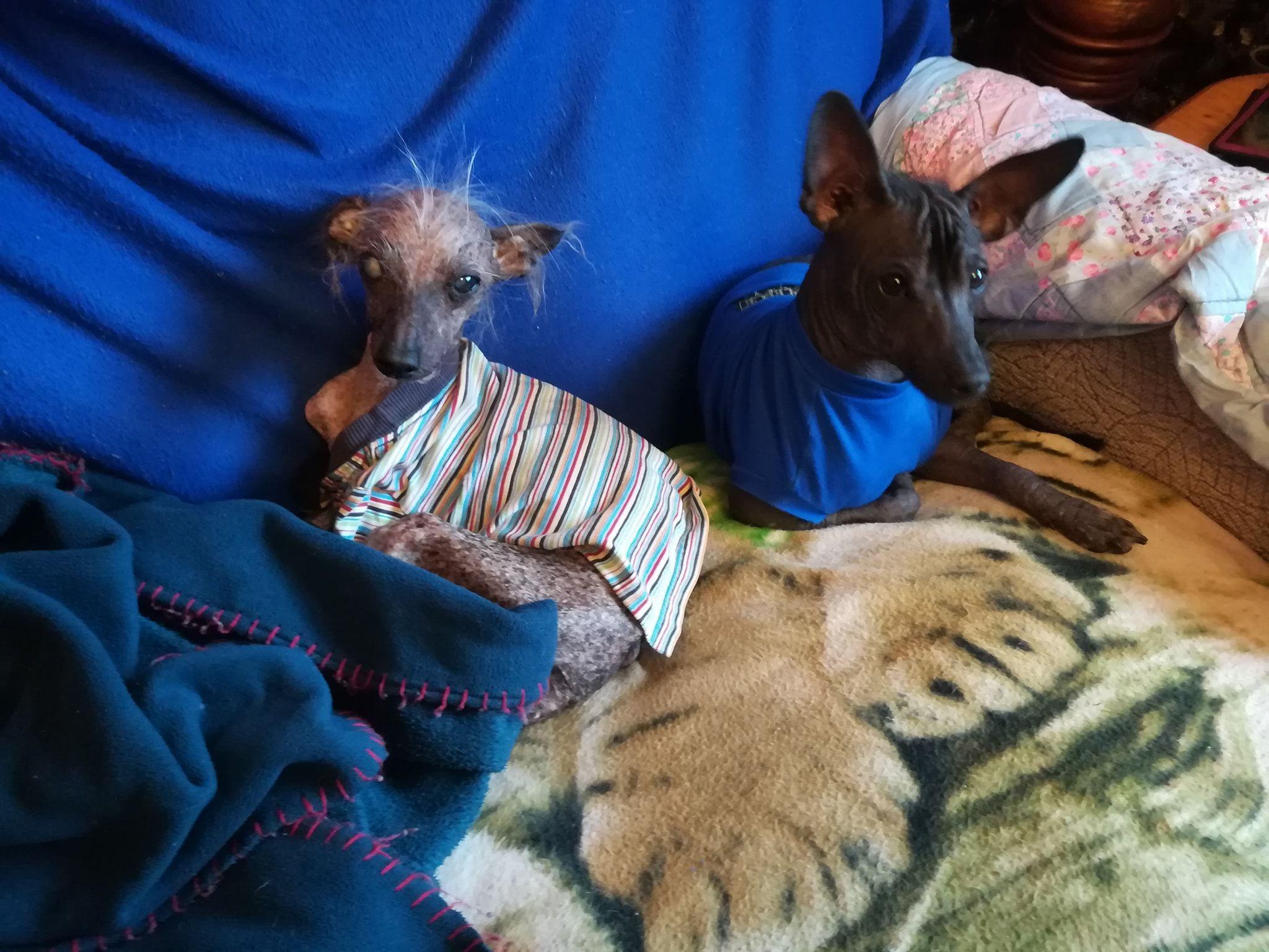 У Великій Британії померла найогидніша собака без зубів і волосся
