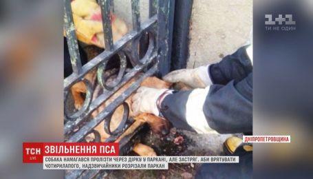 На Дніпропетровщині собака намагався пролізти через дірку у паркані, але застряг