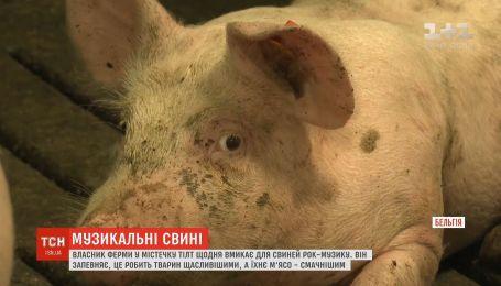 В Бельгии владелец фермы ежедневно включает для свиней рок-музыку