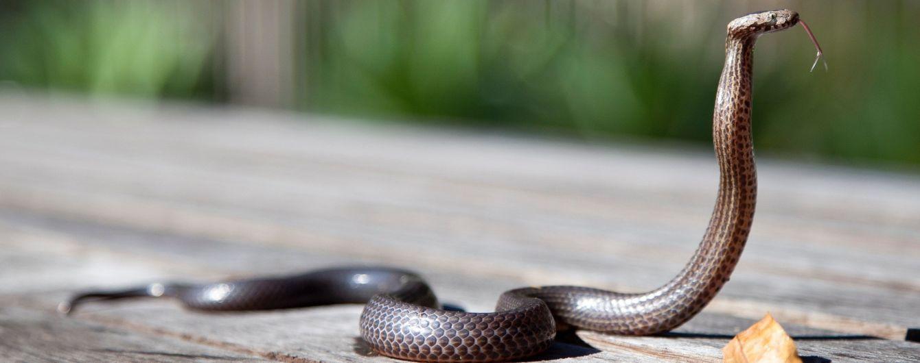 Щодня від зміїних укусів помирає 200 людей: де плазуни нападають найчастіше. Інфографіка
