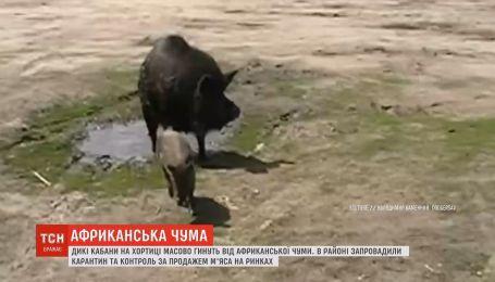 Африканская чума свиней в Запорожье: гибнут дикие кабаны