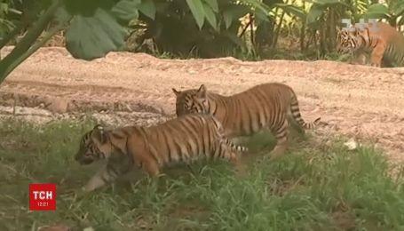 В зоопарке Сиднея впервые показали малышей редкого суматранского тигра
