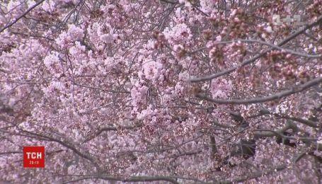 Вашингтон потопає у рожевому квіті сакури