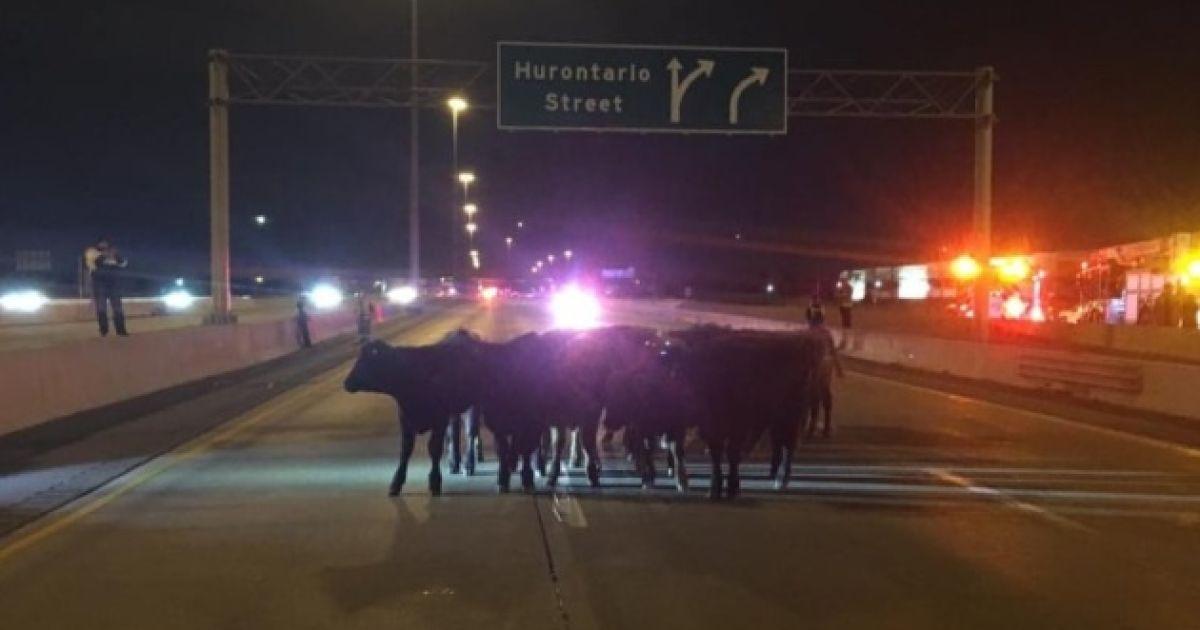 Один з основних автобанів Північної Америки заблокували корови