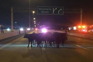 Один из основных автобанов Северной Америки заблокировали коровы
