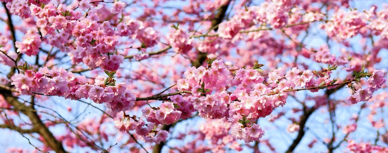 Сезон сакур: у Вінниці ніжно рожевим розквітли перші дерева