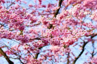 """Вашингтон """"утонул"""" в розовом цветении множества сакур"""