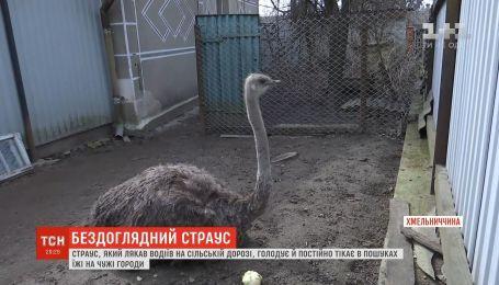 В Хмельницкой области страус, который устроил коллапс на дороге, голодает