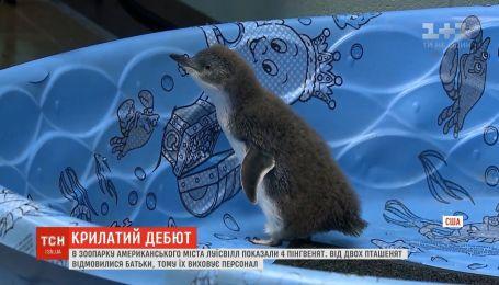 Дебют пингвиненков: 4 малышей показали в американском городе