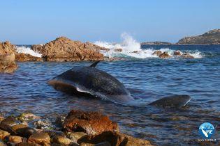 В Италии на берег выбросило труп беременной самки кита – ее желудок был напрочь забит пластиком
