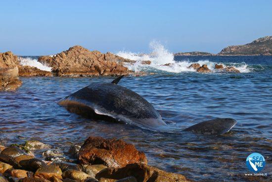 В Італії на берег викинуло труп вагітної самки кита – її шлунок був геть забитий пластиком