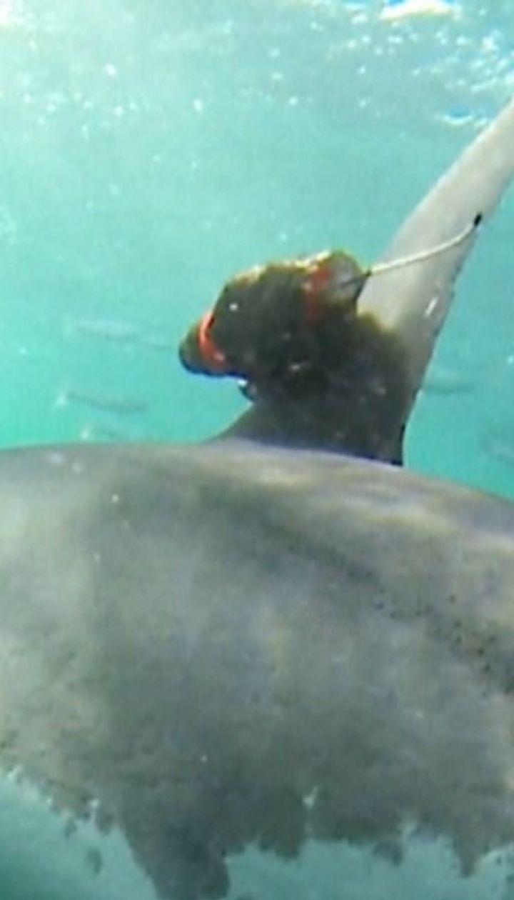 Учені вдягнули на акул камери, щоби побачити, як ті здобувають собі їжу