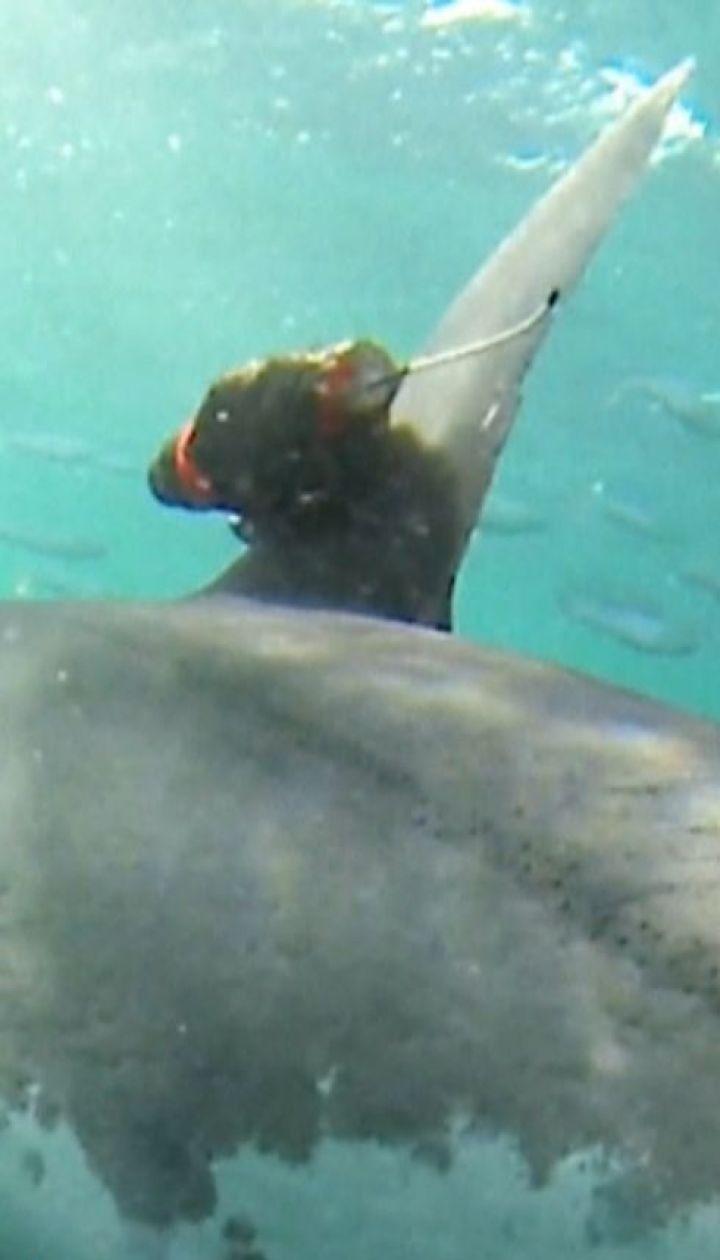 Ученые надели на акул камеры, чтобы увидеть, как те добывают себе пищу