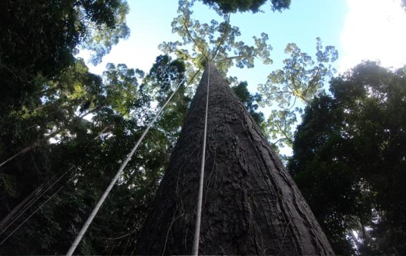 найвище дерево тропічне