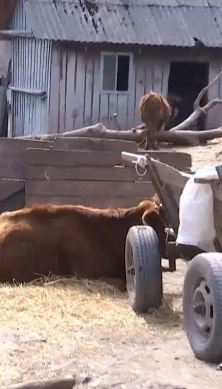 Семья на Тернопольщине складывает трупы собственных коров в подвале дома