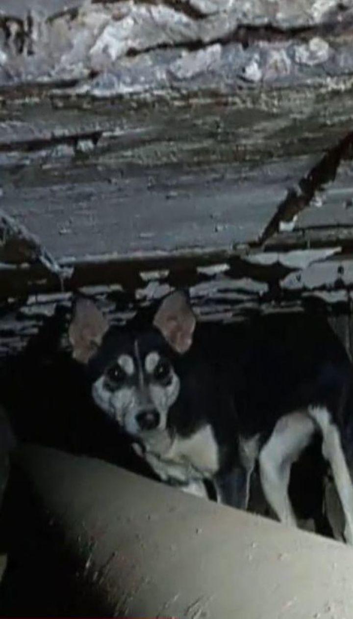 У прифронтовій Дружківці собака три роки прожив у трубі теплотраси