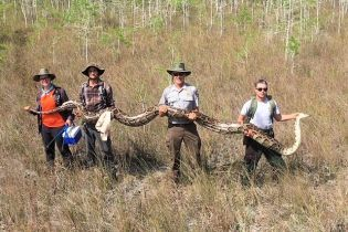 У Флориді знайшли рекордно гігантську самку пітона з понад півсотнею яєць всередині