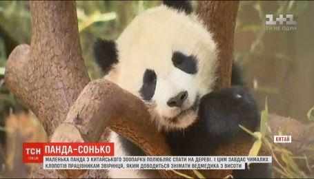 Маленька панда з шанхайського звіринця зачарувала публіку
