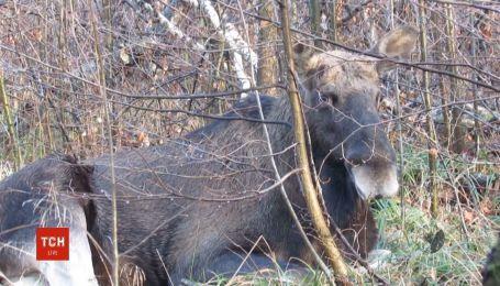 Несмотря на жалобы охотников, Апелляционный суд оставил лосей в Красной книге Украины
