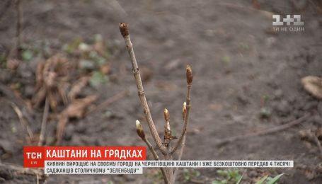 Киевлянин вырастил более 4 тысячи саженцев каштанов на огороде