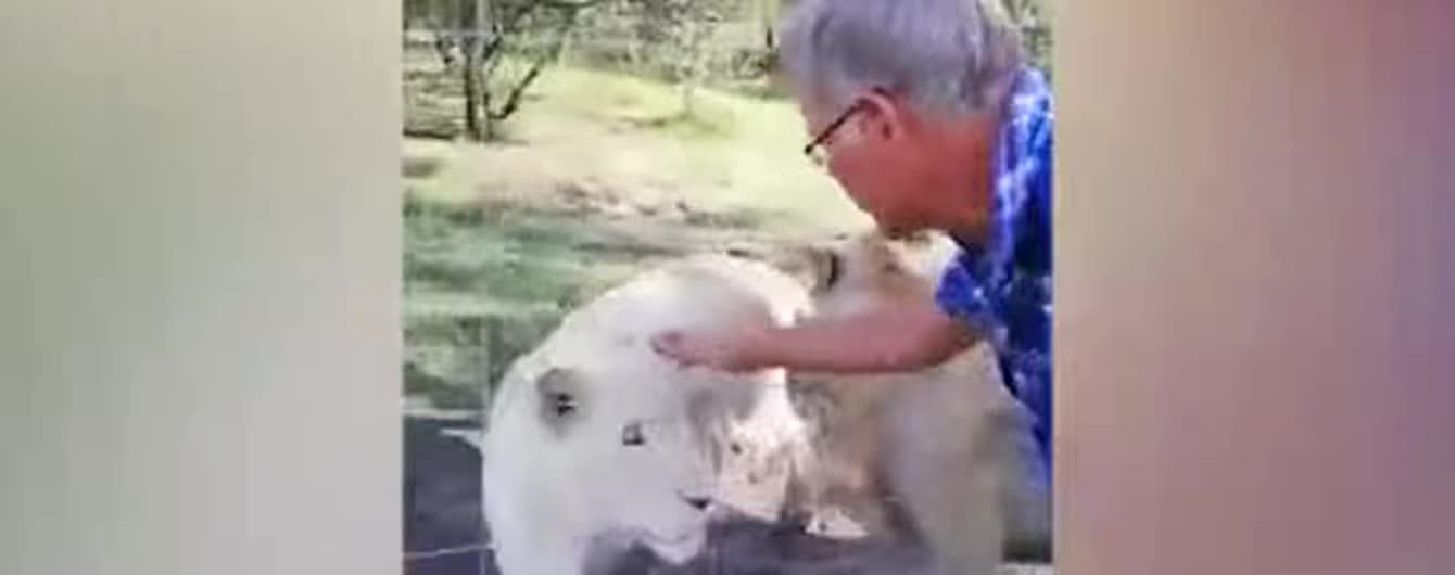 Жена сняла нападение разъяренного льва на мужчину, который решил погладить животное