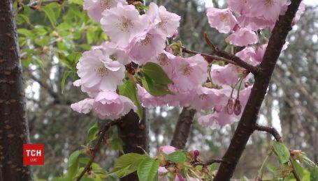 Жители любуются розовыми цветами сакур