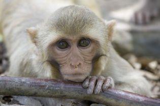 Китайский ученый внедрил человеческий ген в мозг обезьяны: что случилось с животным и как разделило ученых