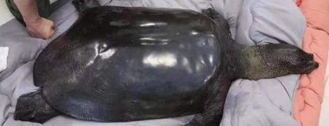 В Китае умерла последняя самка самой редкой в мире черепахи