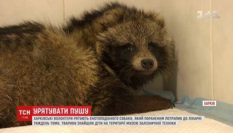 Волонтеры и медики спасают раненую енотовидную собаку в Харькове
