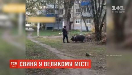 В столице заметили женщину, которая выгуливала свинью вблизи многоэтажек