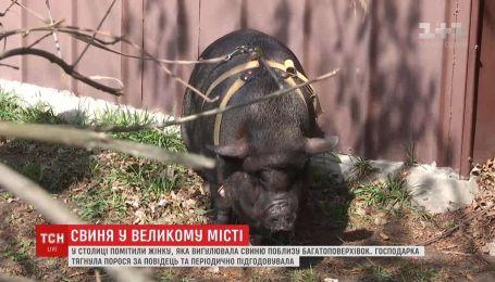 Киевлянка держит в квартире свинью и регулярно выводит ее на прогулки