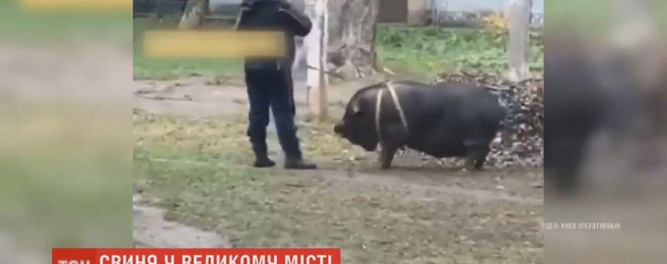 Свинья-звезда: домашнее животное уже 9 лет живет в квартире киевской многоэтажки
