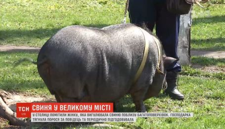 Киевлянка держит в своей квартире 80-килограммовую домашнюю свинью