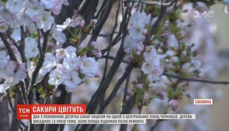 Розовые сакуры расцвели в центре Черновцов