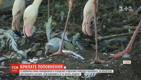 В зоопарке Рима вылупились четверо птенцов редких розовых фламинго