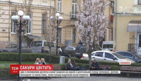 В центре Черновцов расцвели сакуры