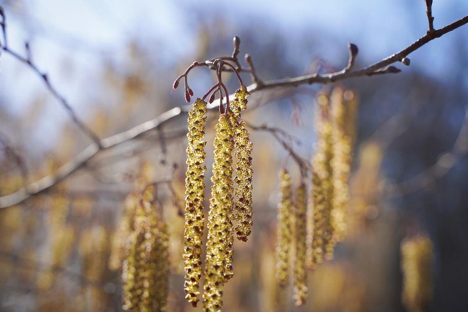 Берези, весна