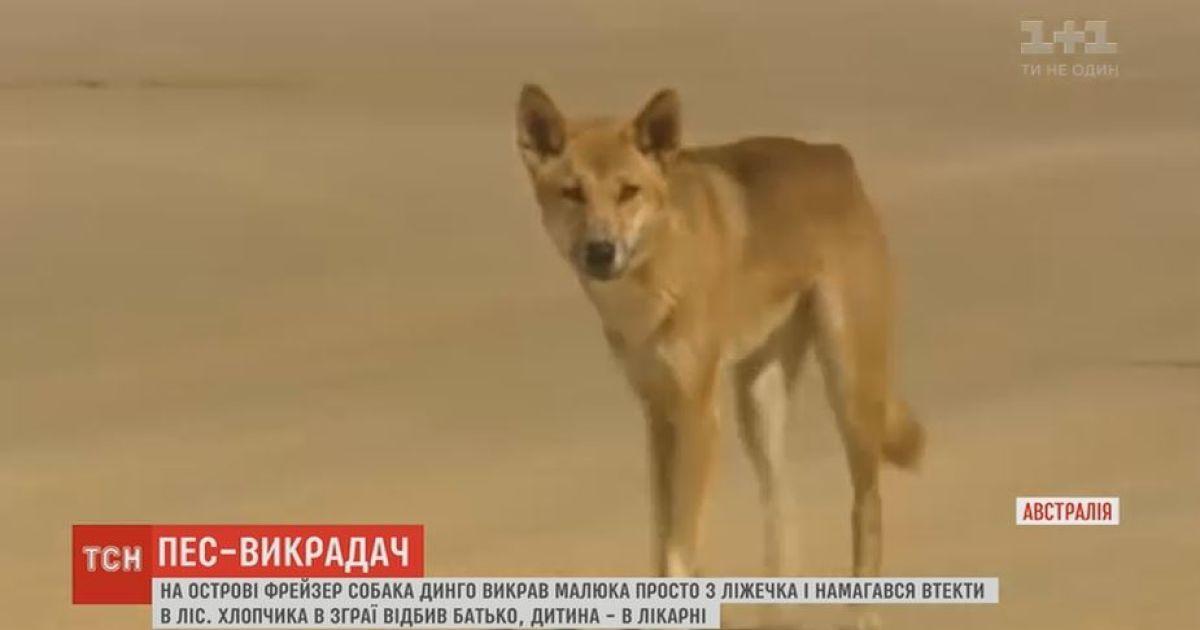 В Австралії собака динго викрав дитину просто з ліжечка і тягнув її до лісу