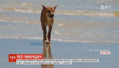 В Австралії собака динго викрав однорічну дитину
