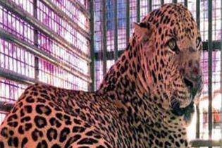 В Індії леопард обезголовив 9-місячне немовля, яке спало поруч з матір'ю
