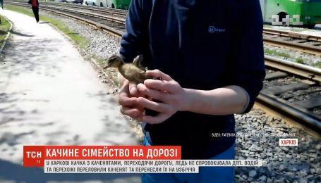 У Харкові качка з каченятами ледь не спровокувала аварію на дорозі