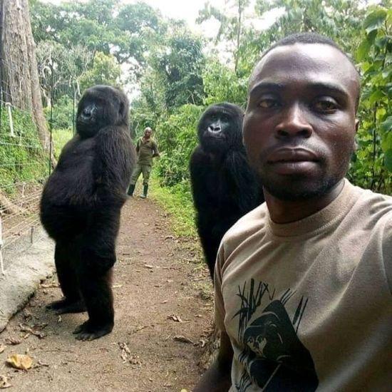 """Селфі року: у Конго волонтер зробив фото із горилами, що стоять у """"людській позі"""""""